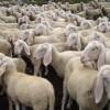 gregge-di-pecore